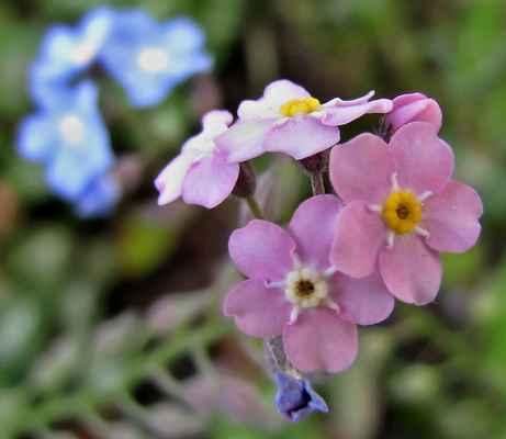 Pomněnka lesní, růžová varieta (Myosotis sylvatica)