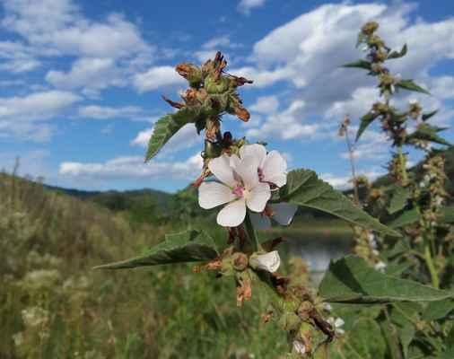 Proskurník lékařský (Althaea officinalis) - C2t