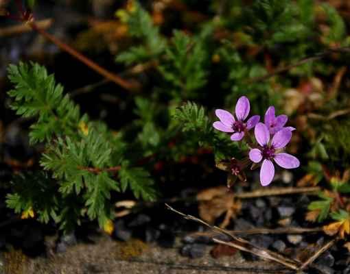 Pumpava obecná (Erodium cicutarium)