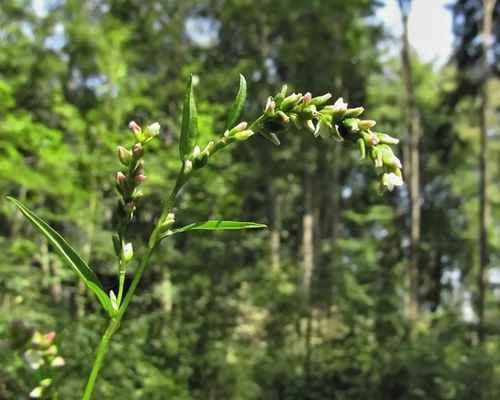 Rdesno peprník (Persicaria hydropiper)