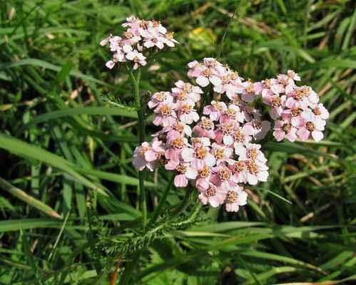 Řebříček obecný sudetský (Achillea millefolium subsp. sudetica) - C4a