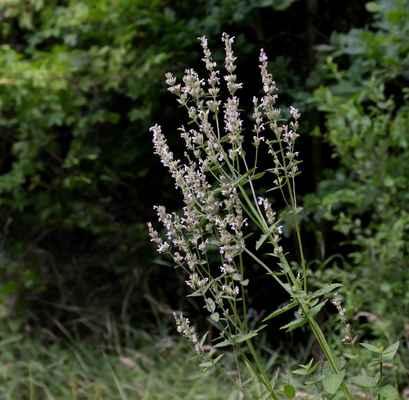 Šanta lesostepní (Nepeta nuda) - C2b
