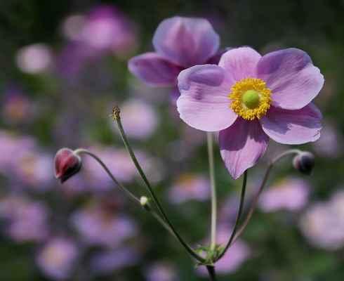Sasanka japonská (Anemone × hybrida)