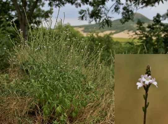 Sporýš lékařský (Verbena officinalis) - C3