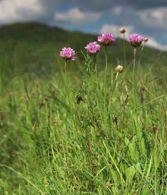 Trávnička obecná (Armeria vulgaris) - C4a