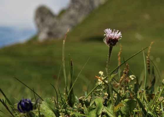 Turan jednoúborný (Erigeron uniflorus) - u nás neroste (SR)