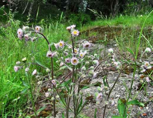 Turan ostrý (Erigeron acris)