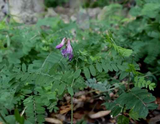 Vikev kašubská (Vicia cassubica) - C3