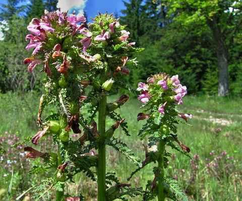 Všivec bahenní (Pedicularis palustris) - C1t, §2