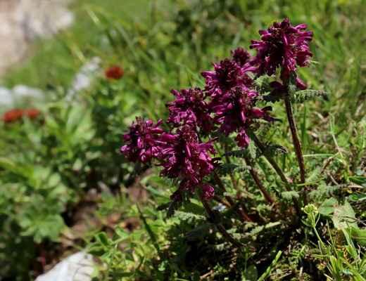 Všivec přeslenitý (Pedicularis verticillata) - u nás neroste (SR)