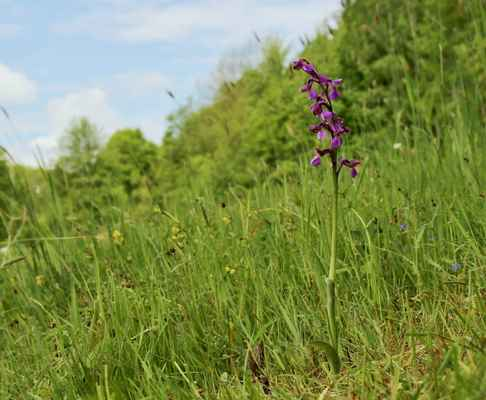Vstavač kukačka (Orchis morio) - C1b, §2