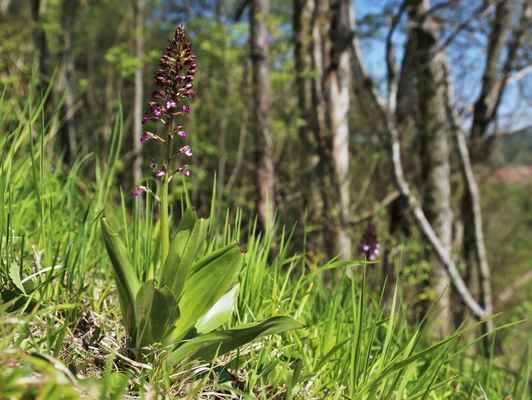 Vstavač vojenský, kříženec s nachovým (Orchis × hybrida)