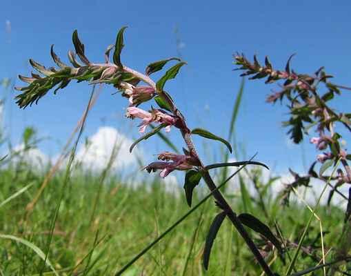 Zdravínek jarní (Odontites vernus)