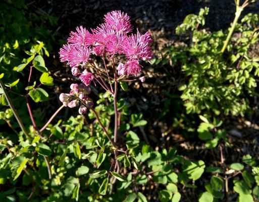 Žluťucha orlíčkolistá, růžová varieta (Thalictrum aquilegiifolium)