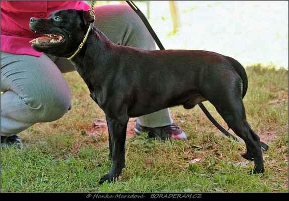 Killer Bee Domidar Dogs (Glimmer Man Domidar Dogs X Grinning Devils Domidar go Ballistic) - Psi - třída mladých - V2