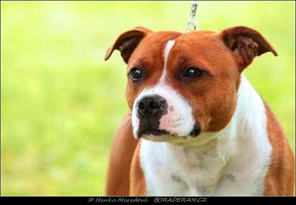 Abigale Mija Dogs (Talisman of Macy Gray X Binna Marshall´s Red Stars) - Feny - třída mladých - V