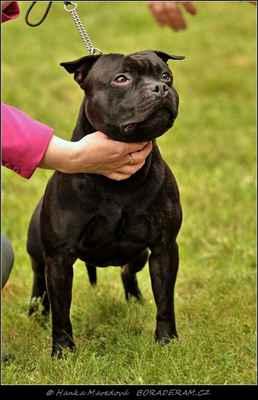Glimmer Man Domidar Dogs (Breno Domidar Dogs X Maya Stawka Wieksza Niz Zycie) - Psi - třída vítězů - V 1, CAC