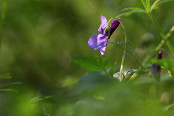 Hledal jsem v lese hnízdiště volavek a narazil na tyto malé krásky. Moc jsem violky vonné (fialky) na Rajčeti neviděl.