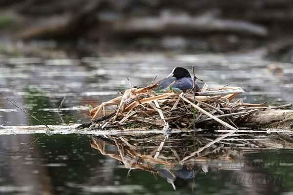 Lyska černá v očekávání. Letos po každém dešti nadstavovaly hnízdo.