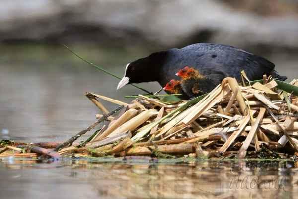 Kachny a labutě své potomky nekrmí, jen doprovází, ochraňují a potravu maximálně upraví (naškubou). Lyska černá kuřata krmí …