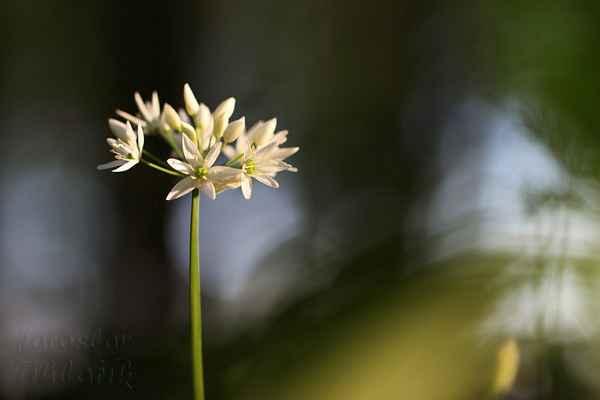 Brzy z jara se sbírají mladé listy, které jsou prvním čerstvým zdrojem vitamínu C s vůní a chutí česneku.