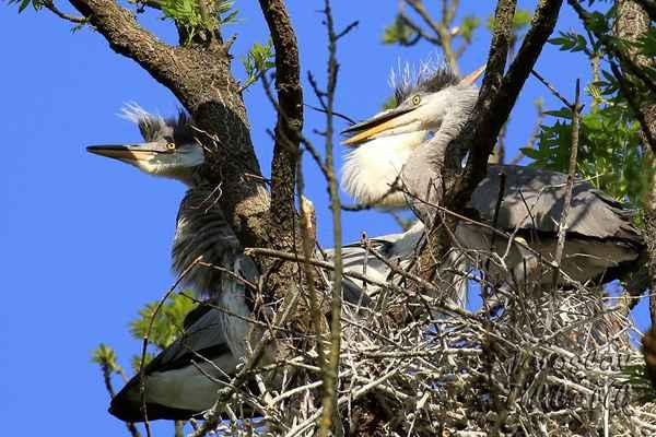 Hnízdící volavky je asi nejvhodnější fotit v pražské zoo, kde je to nachystáno jako na zlatém podnose.