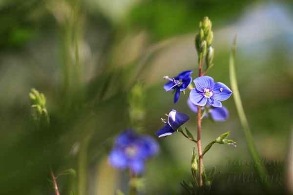 Rozrazil rezekvítek, u nás hojná bylinka s drobnými květy.