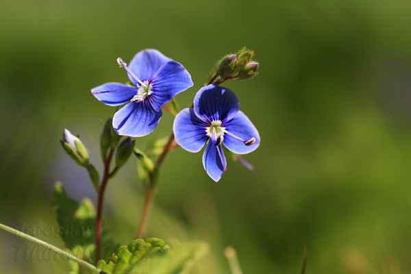 Krása květu s žíhanými lístky vynikne při pohledu zblízka.