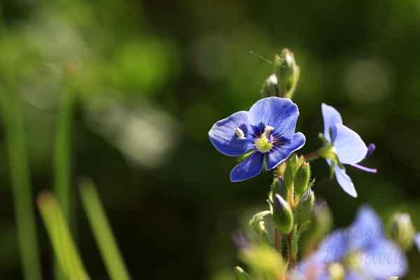 Kvete od května do srpna, od června do srpna se sbírá kvetoucí nať. Po usušení se využívá v čajových směsích.