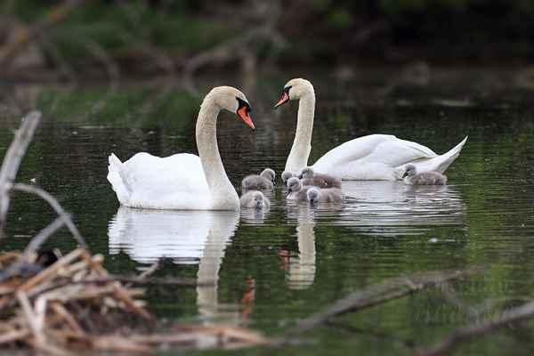 Rodina labutí velkých. Po vylíhnutí potomků první dny jsou rodiče velmi ostražití a prckové se drží pěkně pohromadě.