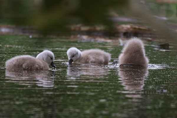 I když mají jen chmýří, s vodou jsou velcí kamarádi.