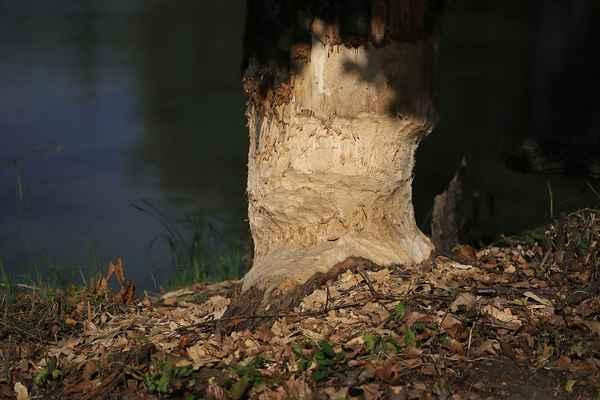 Nežádaná bobrova práce, zrostlý strom to má spočítané.