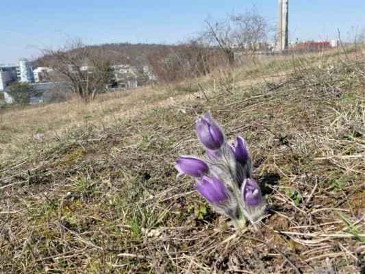 ... bílý květ mě potěšil a teď se jdu kochat i těmi modrofialovými ....