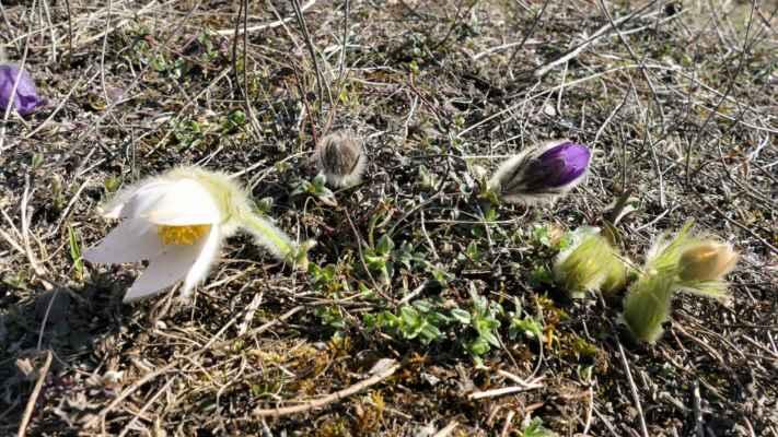 ... a protože vím, že hned u cesty obvykle vykvétá i jeden ze dvou bíle kvetoucích konikleců, tak po krátkém pátrání ho objevuji a dokonce s dalším trsem ....