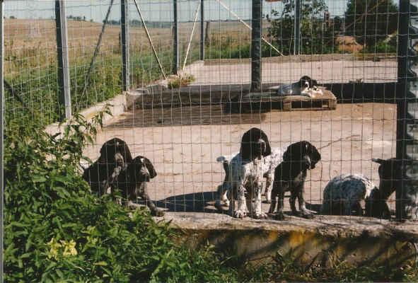 O jeho existenci neměla zatím česká kynologická veřejnost téměř žádné povědomí, objevila jsem jej v časopisech Chien de chasse, které mi darovala belgická přítelkyně. Tito psi zaujali především svým výrazným zbarvním, ale i mohutnou stavbou těla v typu brakoida.