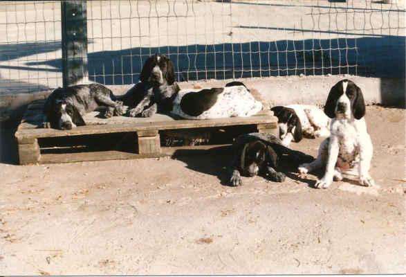 Paní Masson měla v roce 1997 více jak 80 roků, ale její vitalita byla úžasná. A což teprve její psi! Ideální typ, výborné povahy, záruka na lovecké vlohy (ta byla dokonce obsažena ve smlouvě!). Psince měly veliké, osluněné výběhy, všude dokonale čisto a květiny.