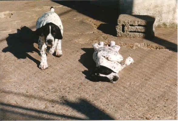 Štěňata měla čistá, výborně živená, se silnou kostrou.  V dnešní době se u nás vyskytuje dost jedinců se slabou kostrou, postrádajících požadovanou mohutnost těch původních psů ze psince Des Gorges de Franchard! Kam jsme založili hřivnu tohoto vynikajícího chovného základu?