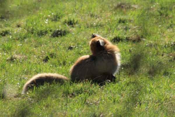 lišiačik - fotil som spoza jedného hrubého topoľa a keď som sa postavil, tak na druhej strane bol tento lišiak, ledva som stihol cvaknúť a bol preč