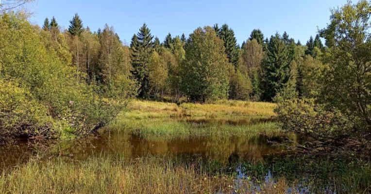 Pomalu již přemnožený bobr na mnoha místech systematicky mění (likviduje?) potoční ekosystém