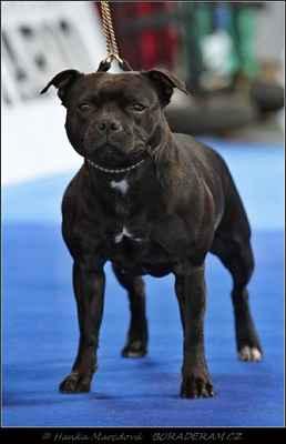 Arleta Fantastic Fay Bohutín (Valglo Dream Maker X Athena Domidar Dogs) - Třída otevřená - feny - známka: výborná 2, res. CAC