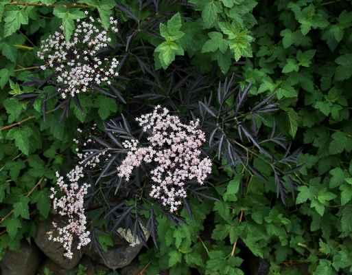 Bez černý (Sambucus 'Black Lace')