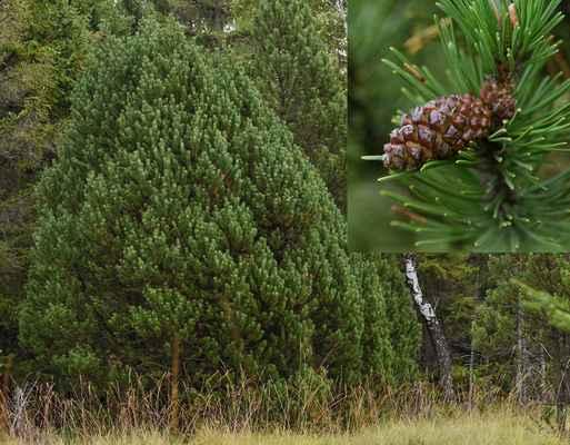 Borovice pyrenejská blatka (Pinus mugo nothosubsp. rotundata) - C2b