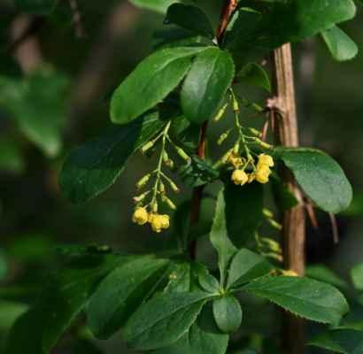 Bříza karpatská (Betula carpatica) - C4a
