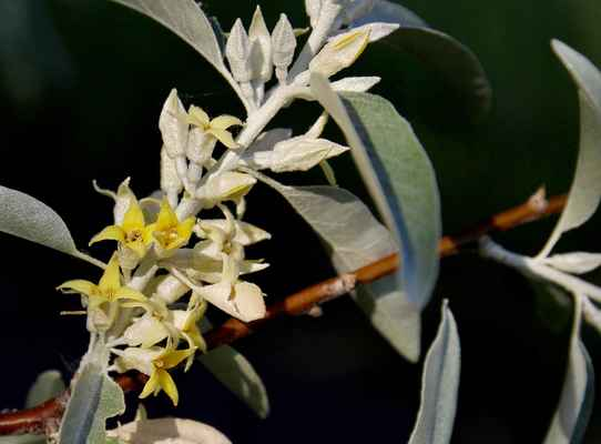 Hlošina úzkolistá (Elaeagnus angustifolia)
