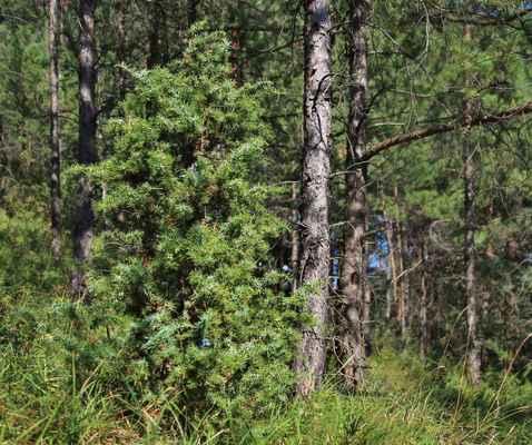 Jalovec obecný (Juniperus communis) - C3
