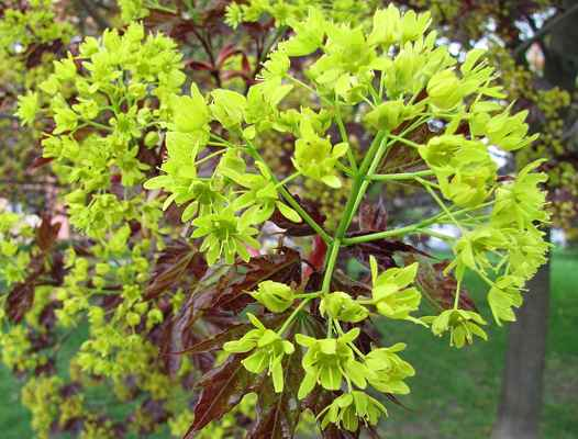 Javor mléč (Acer platanoides)