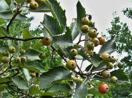 Jeřáb labský (Sorbus albensis) - C2r