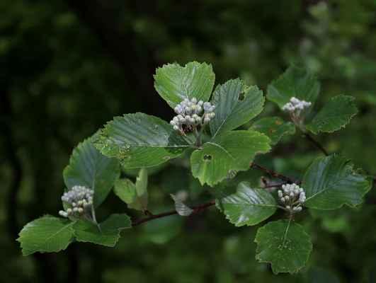 Jeřáb muk (Sorbus aria) - C2b
