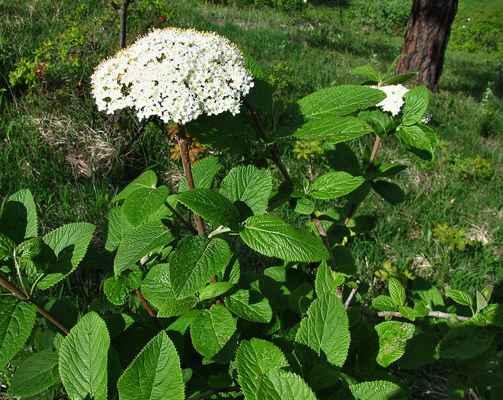 Kalina tušalaj (Viburnum lantana) - C4a