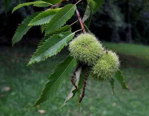 Kaštanovník jedlý (Castanea sativa)